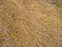 long grasses and Ponderosa Pine needles where the elk slept on Bethel Ridge, Wenatchee National Forest, Washington, USA