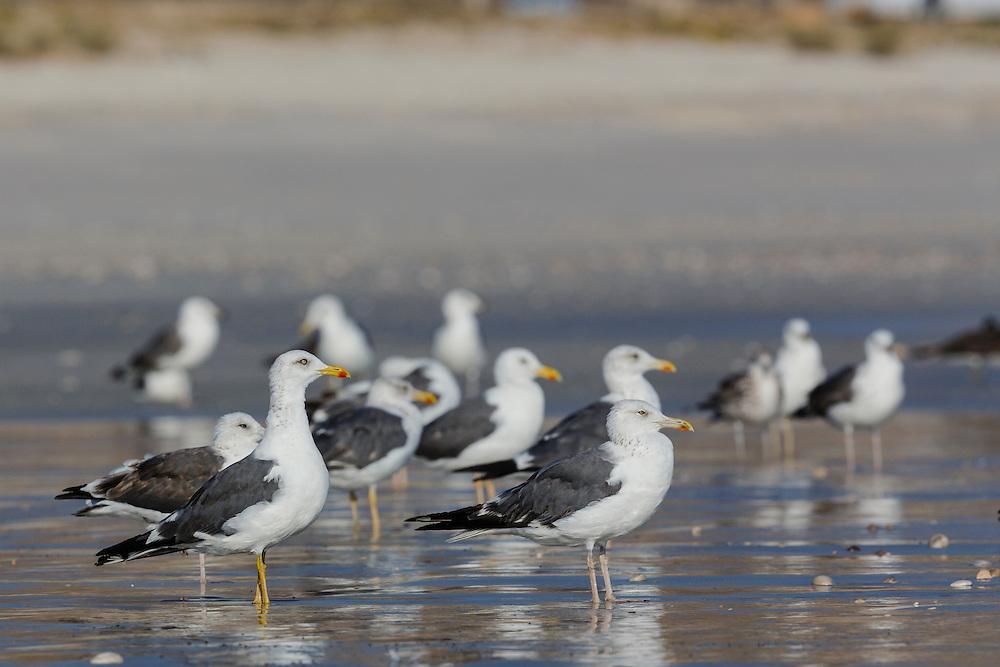 Heuglin's Gull - Larus heuglini