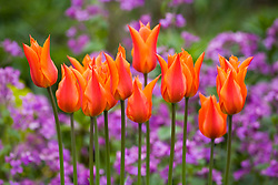 Tulipa 'Ballerina' in front of honesty