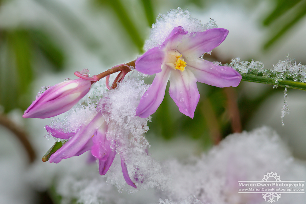 Chionodoxa flowers: Chionodoxa (Glory-of-the-snow) flowers