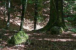 """Foresta Umbra - Gargano - Puglia - 2010. La Riserva naturale Foresta Umbra è una area naturale protetta posta all'interno del Parco nazionale del Gargano. Si estende nella zona centro-orientale del Gargano, a circa 800 metri di altitudine. Il nome """"umbra"""", deriva dal latino e significa cupa, ombrosa, come allora, e come in parte oggi, appare. Il territorio della riserva occupa un'area di circa 400 ettari. Floristicamente vi si possono distinguere tre zone: quella superiore della faggeta (84% circa di faggi, in misura minore aceri, carpini ecc.); quella intermedia della cerreta (cerri e querce circa 45%, faggi 21%, poi carpini, aceri, tigli ecc.) e quella bassa del bosco mediterraneo con lecci e specie minori. Negli ultimi decenni si sono eseguiti rimboschimenti con pini neri, castagni, abeti, aceri e frassini. (fonte Wikipedia). Come arrivarci: raggiungibile dalla A14 alle stazioni Poggio Imperiale (superstrada e statale 89 per Rodi Garganico e San Menaio, e da qui verso sud, oltre Vico del Gargano; oppure sino a Peschici o anche a Santa Maria di Merino, e poi verso l'interno lungo la Valle del Tesoro); San Severo (statale 272 - la Via Sacra - per San Marco in Lamis e San Giovanni Rotondo; 6 km prima di Monte Sant'Angelo, verso nord, lungo la statale 528); Foggia o Cerignola (statale 89, da Foggia, e 545, da Cerignola, sino a Manfredonia. Da qui sino a Monte Sant'Angelo e poi statale 528 oppure itinerario costiero, più lungo ma panoramico, per Pugnochiuso e Vieste sino a Santa Maria di Merino)."""