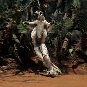 Verreaux's Sifaka, (Propithecus verreauxi) ENDANGERED SPECIES. Dancing style of locomotion.