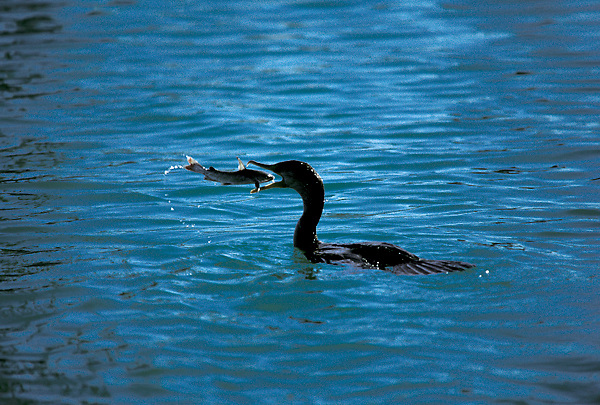 Cormorant (Phalacrocorax) in Water Swallowing Hardhead Catfish