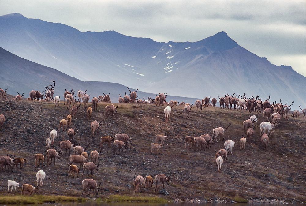 Reindeer grazing near Senyavina Strait, Chukotsk Peninsula, NE Russia, 1992