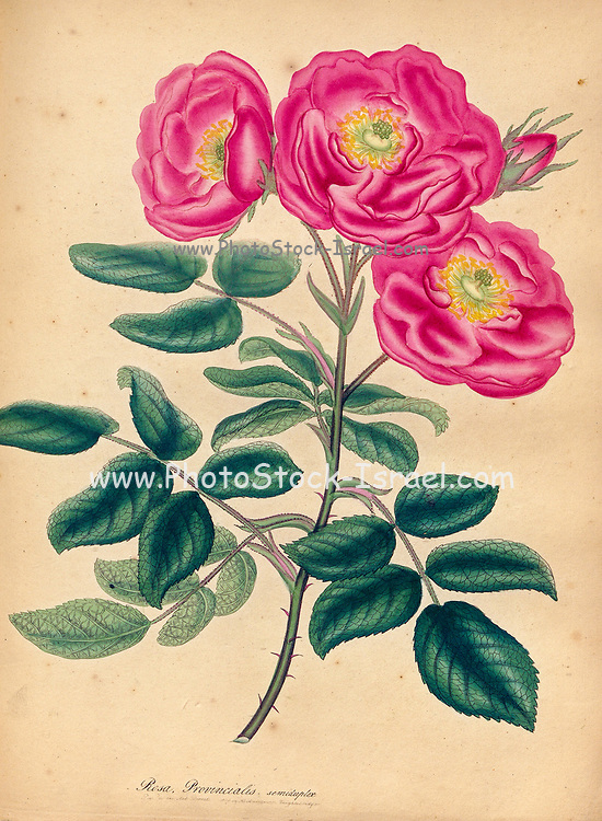 ROSA Provincialise semi-duplex. Semi-double Province Rose From the book Roses, or, A monograph of the genus Rosa : containing coloured figures of all the known species and beautiful varieties, drawn, engraved, described, and coloured, from living plants. by Andrews, Henry Charles, Published in London : printed by R. Taylor and Co. ; 1805.