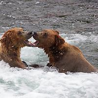 USA, Alaska, Katmai. Brown bears with open mouths at Brooks Falls, Alaska.