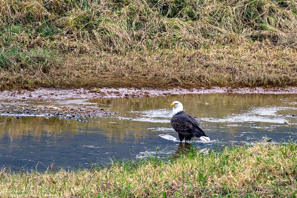 A Bald Eagle (Haliaeetus leucocephalus) feeds on spawning salmon at the Harrison River, Harrison Mills, British Columbia, Canada