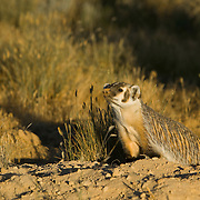 An adult badger (Taxidea taxus) stands at its burrow in the golden glow of sunset, Deer Flat National Wildlife Refuge, Nampa, Idaho
