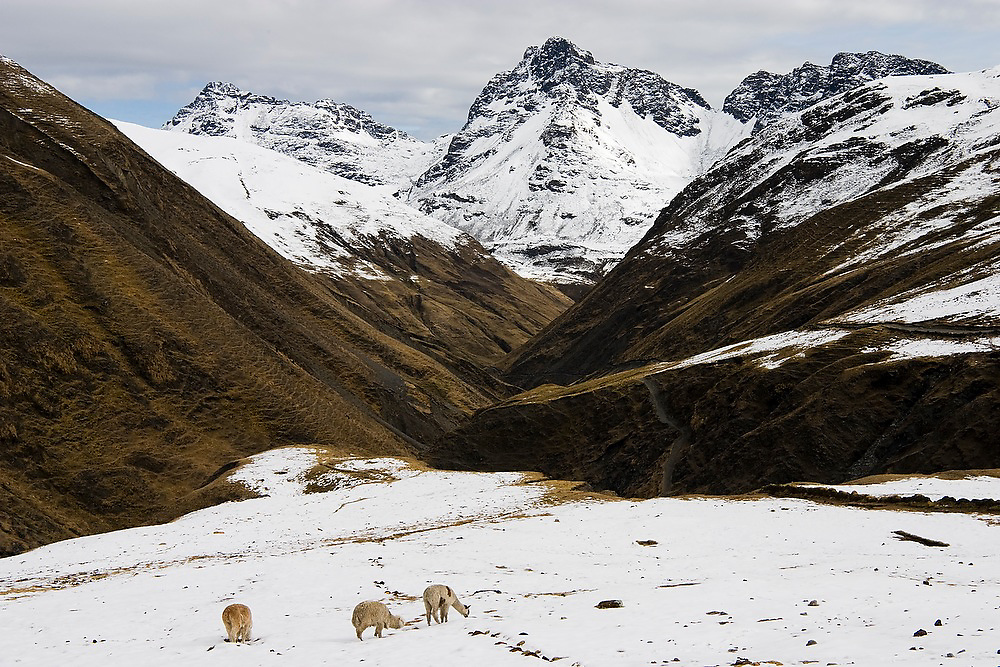 Alpaca, herded by the traditional Q'eros people, search for food below melting snow high in the Cordillera de Paucartambo, Andes Mountains, Peru.