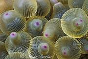 tiny shrimp in sea anemone, Entacmaea quadricolor, <br /> Great Barrier Reef, near Brisbane, Queensland, <br /> Australia ( Western Pacific Ocean / Coral Sea )