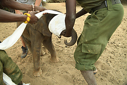 Joseph Lolngojine and Rimland Lemojong, keepers at Reteti Elephant Sanctuary (@r.e.s.c.u.e), put a cloth over the eyes of an orphaned elephant named Kinya to calm her after she fell into a well near Sera in Northern Kenya, February 22, 2017. Reteti, part of the Namunyak Community Conservancy, is the first-ever community-owned and -run elephant orphanage in Africa. Their goal is to rescue, rehabilitate and reintroduce orphaned or abandoned elephant calfs into the wild.  (Photo By Ami Vitale)