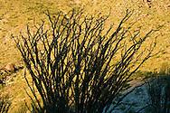 Silhouetted Ocotillo (Fouquieria splendens) in the Anza-Borrego Desert of southern California, USA