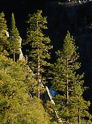 Ponderosa Pines towering above Chilnaulna Creek, Yosemite National Park, California.
