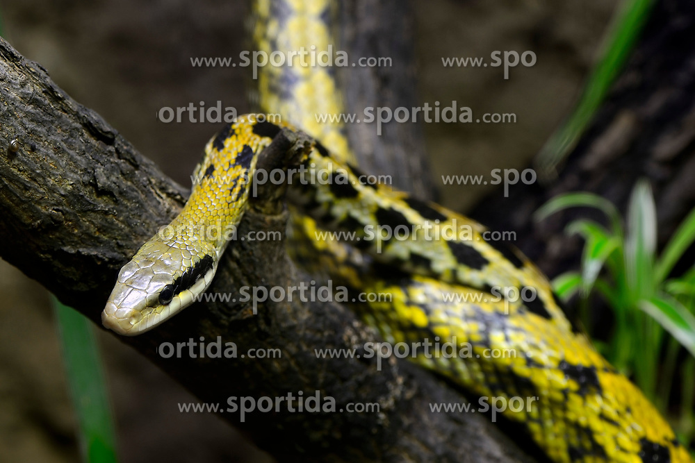 THEMENBILD - Schoennatter (Elaphe taenuira), captive, Vorkommen Malaysia // Beautiful snake (Elaphe taenuira), captive, Occurrence Malaysia. EXPA Pictures © 2017, PhotoCredit: EXPA/ Eibner-Pressefoto/ Schulz<br /> <br /> *****ATTENTION - OUT of GER*****
