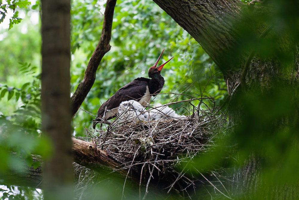 Black Stork at nest, Ciconia nigra, Eastern Slovakia, Europe, Schwarzstorch am Nest, Ciconia nigra, Slowakei, Europa