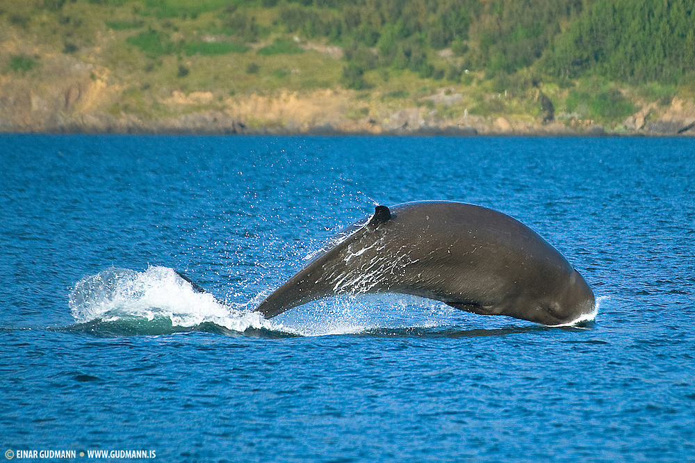 Bottlenose whales were a major tourist attraction in Akureyri, Iceland.  The whales stayed for weeks in front of the town of Akureyri in the year of 2008.