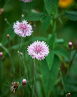 Pink Cornflower. Image taken with a Leica SL2 camera and 55-135 mm lens