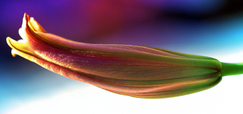 This blooming Stargazer Lily in fine macro details with lush rainbow colors