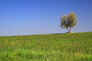 A lonely  tree in the grass fields on the hills nearby Ripa d'Orcia in Tuscany, Italy.