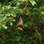 Fruit bat hanging in a tree.
