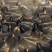 Canada Goose (Branta candensis) flock.