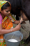 "Shahnaz Hossain Begum milks one of her cows at her home in Bari Majlish village outside Dhaka, Bangladesh. (Shahnaz Hossain Begum is featured in the book What I Eat: Around the World in 80 Diets.)  The caloric value of her day's worth of food on a typical day in December was 2000 kcals. She is 38; 5' 2"" and 130 pounds.  She got her first micro loan several years ago, from BRAC, Bangladesh Rehabilitation Assistance Committee, to buy cows to produce milk for sale. This mother of four was able to earn enough to build several rental rooms next to her home in her village of Bari Majlish, an hour outside Dhaka. She and her tenants share a companionable outdoor cooking space and all largely cook traditional Bangladeshi foods such as dahl, ruti (also spelled roti), and vegetable curries. She and her family don't drink the milk that helps provide their income. MODEL RELEASED."