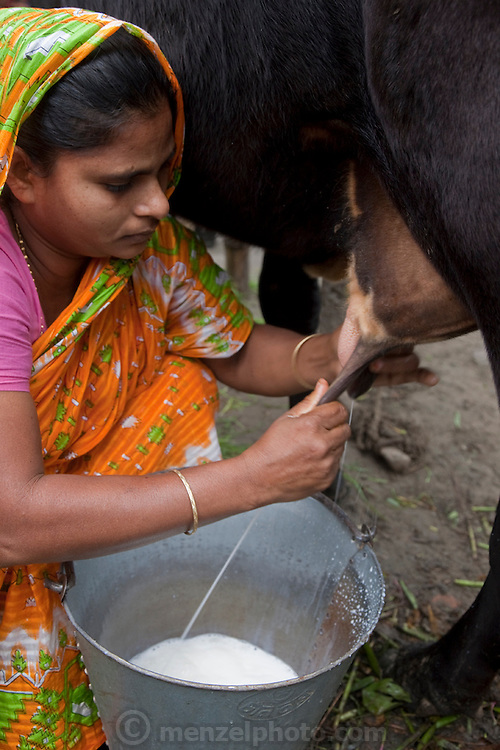 """Shahnaz Hossain Begum milks one of her cows at her home in Bari Majlish village outside Dhaka, Bangladesh. (Shahnaz Hossain Begum is featured in the book What I Eat: Around the World in 80 Diets.)  The caloric value of her day's worth of food on a typical day in December was 2000 kcals. She is 38; 5' 2"""" and 130 pounds.  She got her first micro loan several years ago, from BRAC, Bangladesh Rehabilitation Assistance Committee, to buy cows to produce milk for sale. This mother of four was able to earn enough to build several rental rooms next to her home in her village of Bari Majlish, an hour outside Dhaka. She and her tenants share a companionable outdoor cooking space and all largely cook traditional Bangladeshi foods such as dahl, ruti (also spelled roti), and vegetable curries. She and her family don't drink the milk that helps provide their income. MODEL RELEASED."""
