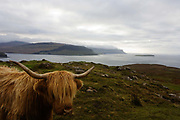A Longhorn cow overlooking Loch Na Keal, near Araronich, Isle of Mull, Scotland. Highland cattle or kyloe are a Scottish breed of beef cattle with long horns and long wavy coats that are coloured black, brindled, red, yellow or dun. The breed was developed in the Scottish Highlands and Western Isles of Scotland. Breeding stock has been exported to the rest of the world, especially Australia and North America, since the early 20th Century. The breed was developed from two sets of stock, one originally black, and the other reddish.