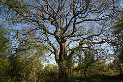 Calvert, UK/ 26th April, 2021. An oak tree is pictured in the remaining section of Calvert Jubilee Nature Reserve. Calvert has been particularly badly impacted by HS2 infrastructure project work because of its position close to the intersection between HS2 and East West Rail and a large section of Calvert Jubilee Nature Reserve has been destroyed.