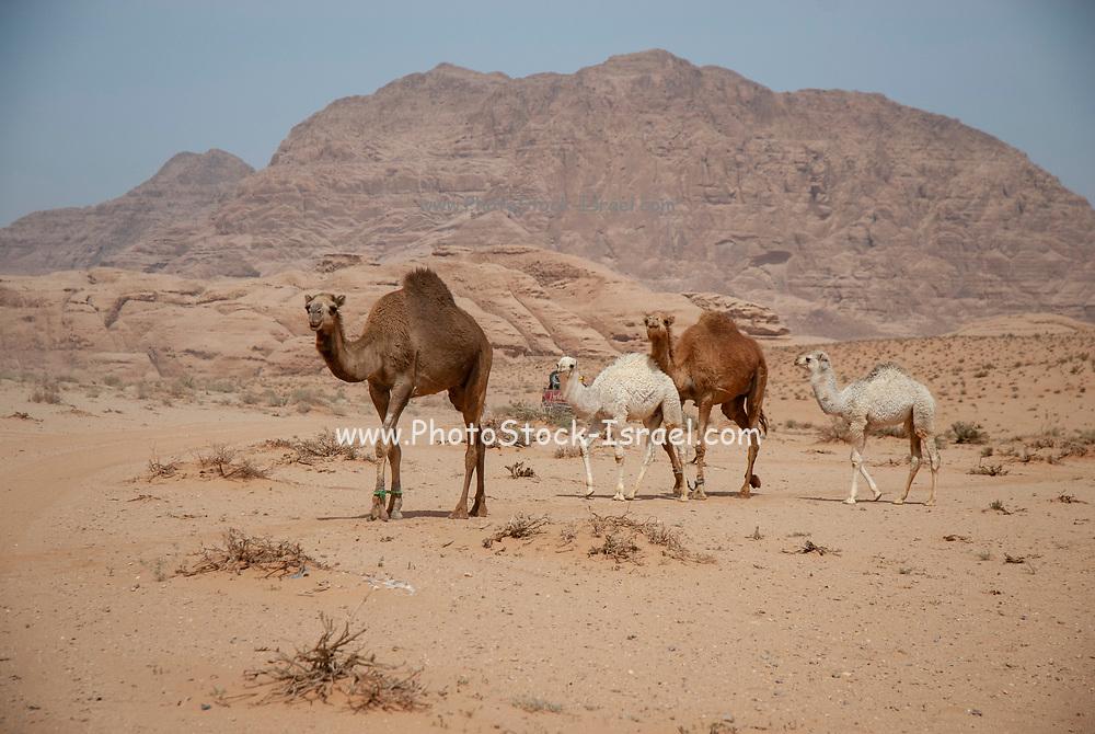 A herd of Dromedary or Arabian Camels (Camelus dromedarius) walking in the desert. Photographed in Wadi Rum, Jordan