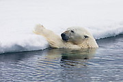 A polar bear (Ursus maritimus) holding on to the side of an ice floe while watching a seal escape from its surprise attack, Spitsbergen, Svalbard, Norway