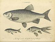 Cyprinus 1. Orf 2. and 3. The Golden Fish of China [Koi] Copperplate engraving From the Encyclopaedia Londinensis or, Universal dictionary of arts, sciences, and literature; Volume V;  Edited by Wilkes, John. Published in London in 1810