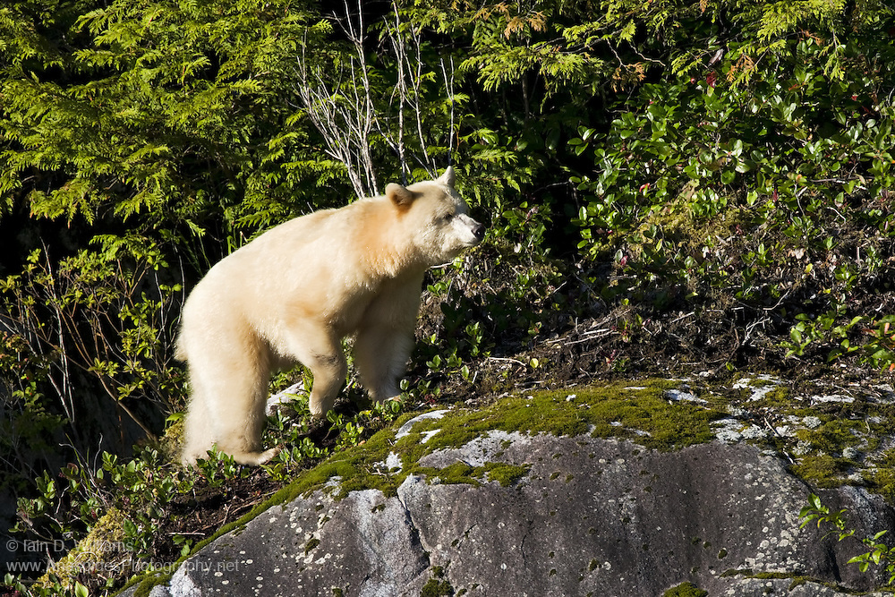 """Spirit Bear (Ursus americanus kermodei) - Canada..The Kermode bear, also known as the """"spirit bear"""" or """"ghost bear"""", is subspecies of the American Black Bear living in the central coast of British Columbia, and noted for a small percentage of their population having white or cream-colored coats. This colour variant is due to a unique recessive trait in their gene pool"""