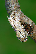 Sprawler - Asteroscopus sphinx