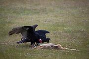 Aquidauana_MS, Brasil...Urubus comendo um macaco na fazenda Rio Negro no Pantanal...Vultures eating a dead monkey in the Rio Negro farm in Pantanal...Foto: JOAO MARCOS ROSA / NITRO