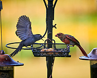 Gray Catbird and Northern Cardinal. Image taken with a Nikon D850 camera and 200 mm f/2 VR lens