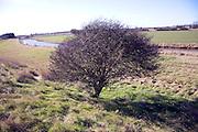 Leafless hawthorn bush, drainage channel, Boyton marshes, Suffolk