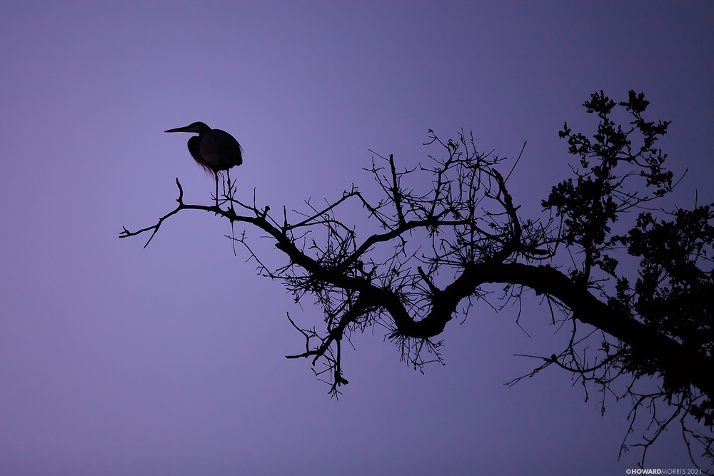 The silhouette of the great blue heron (Ardea hernias) at sunset in an ancient oak tree. Southern Sierras, California.