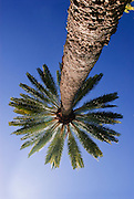 An image looking straight up a palm tree.