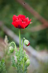 Opium poppy with bee.  Papaver somniferum