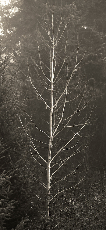 B&W photograph of tree in winter in the Northwest