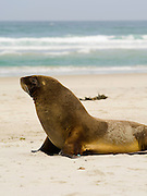 A Hooker's or New Zealand sea lion (Phocarctus hookeri) on Allan's Beach, near Portobello, Otago Peninsula and Dunedin, New Zealand