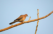 A laughing dove (Streptopelia senegalensis) perched on a tree branch near human habitation early in the morning. Edge of River Nile. Crocodile Island. Egypt