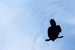 silhouette of a loggerhead sea turtle hatchling, Caretta caretta, in open water, Sargasso Sea, North Atlantic Ocean