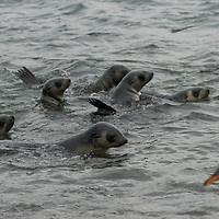 Young Southern Fur Seals cavort by Prion Island in the Bay of Isles, South Georgia, Antarctica.