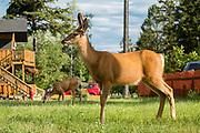 Deer graze in the town of Radium Hot Springs, British Columbia, Canada.