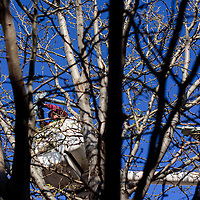 042215       Cable Hoover<br /> <br /> Ryan Smith of City of Gallup Electric works through a tangle of tree branches to hang more twinkle lights of Coal Avenue in downtown Gallup Wednesday.