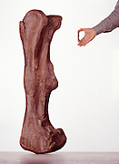 This 4-inch long embryonic hadrodsaur upper leg bone in my hand would have grown to 4 feet in just a couple of years.  It is thought that small dinosaurs had to grow up quickly to avoid predators.