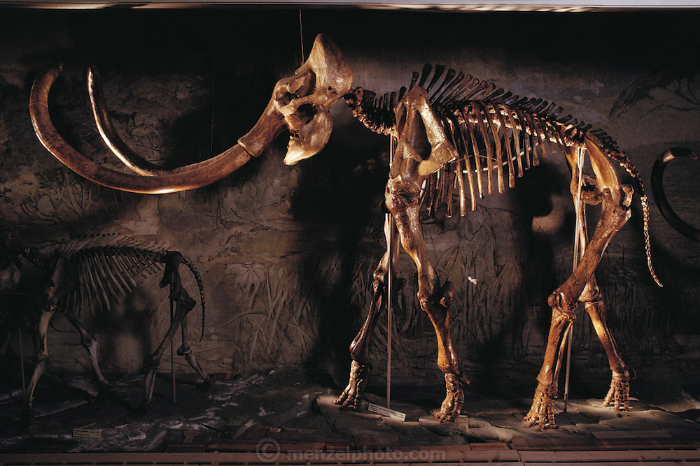 Mammoth skeleton. Side view of the largest mounted Mammuthus columbi skeleton in the world. It is housed at the University of Nebraska State Museum, USA. At upper left are giant up-curved tusks. This specimen is 4 meters in height. Mammuthus columbi (Columbian mammoth) was a giant elephant-like mammal, which roamed temperate parts of North America more than 10,000 years ago, when it became extinct. This species was an important later relative of the woolly mammoth of Europe and Siberia. These well-preserved bones of Mammuthus columbi were discovered in Lincoln County, Nebraska, in 1922, a site famous for its fossils. The skeleton was assembled in 1933. (1992)