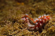 Israel, Mediterranean sea, - Underwater photograph of a fireworm (or bristleworm) Eurythoe complanata